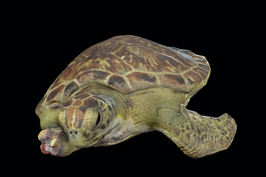 Animated 3D Sea Turtle model with shark bite