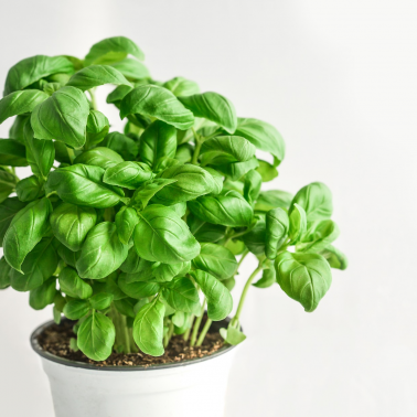 Science Scene: 'Studying basil diseases to help U.S. producers'