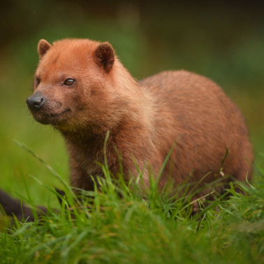bush dog in grass