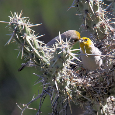Verdin pair at nest in cacti