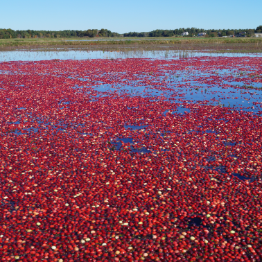 Playing a 'pivotal research and development role' in cranberry agriculture