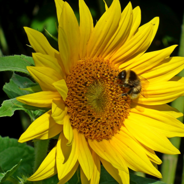 The buzz about bee-friendly flowers