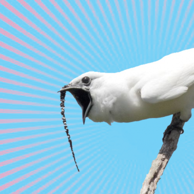 Male white bellbird screams from branch - radiating lines and bright color suggest loud volume