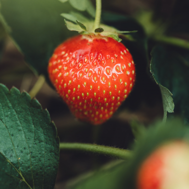 A gut feeling about strawberries