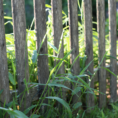Wooden picket fence with weeds growing through it