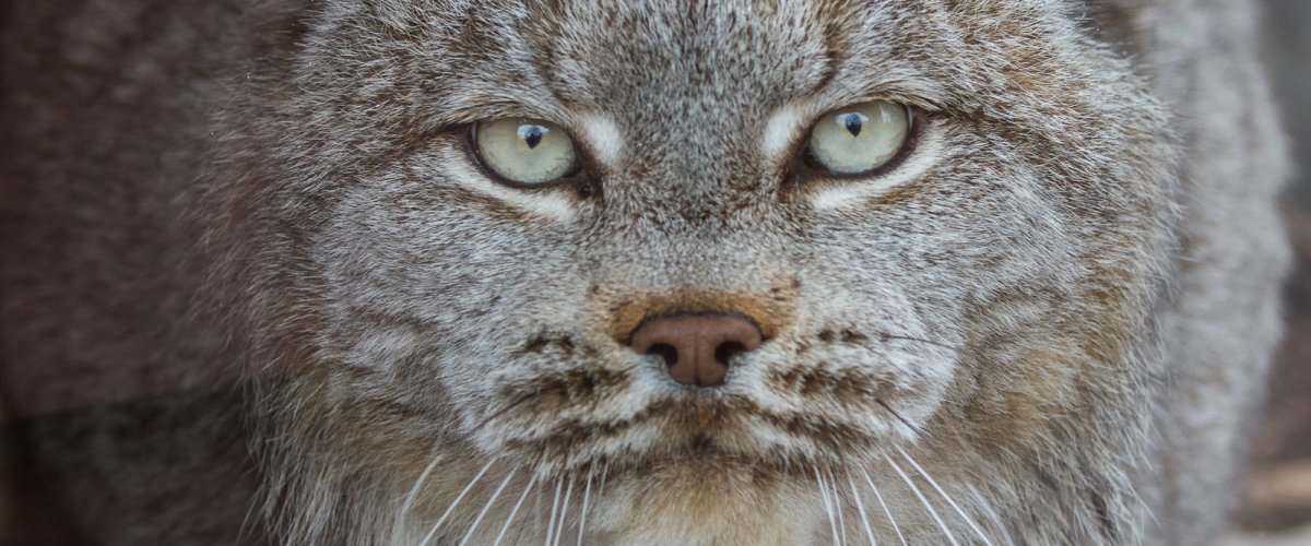 Lynx genome sequenced for the first time ever