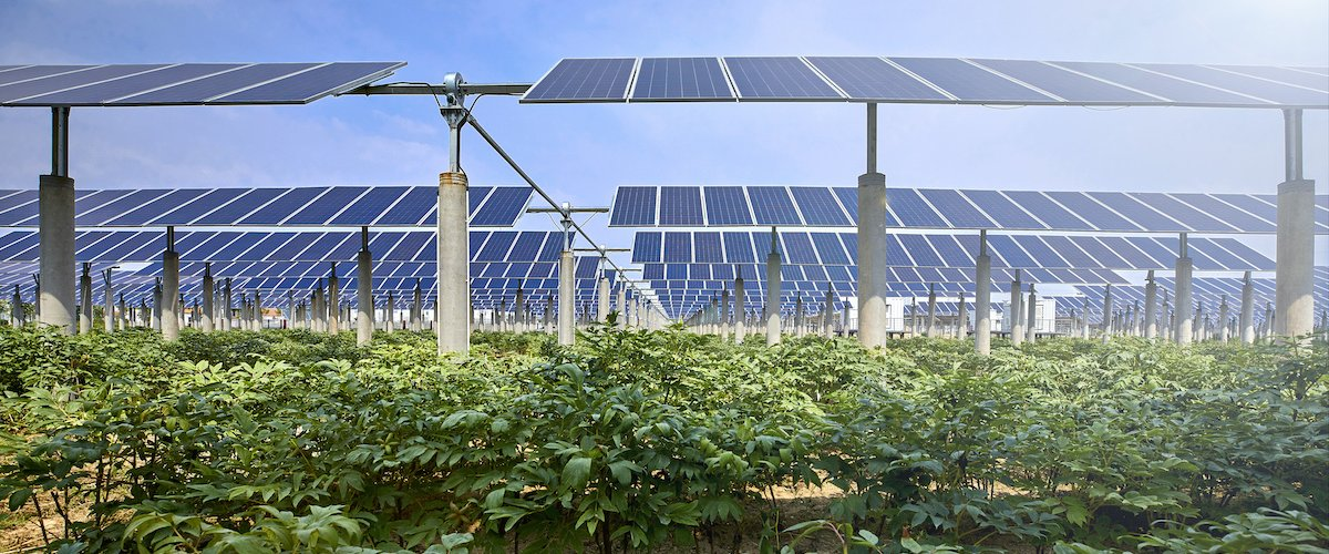 Solar panels above farm crops