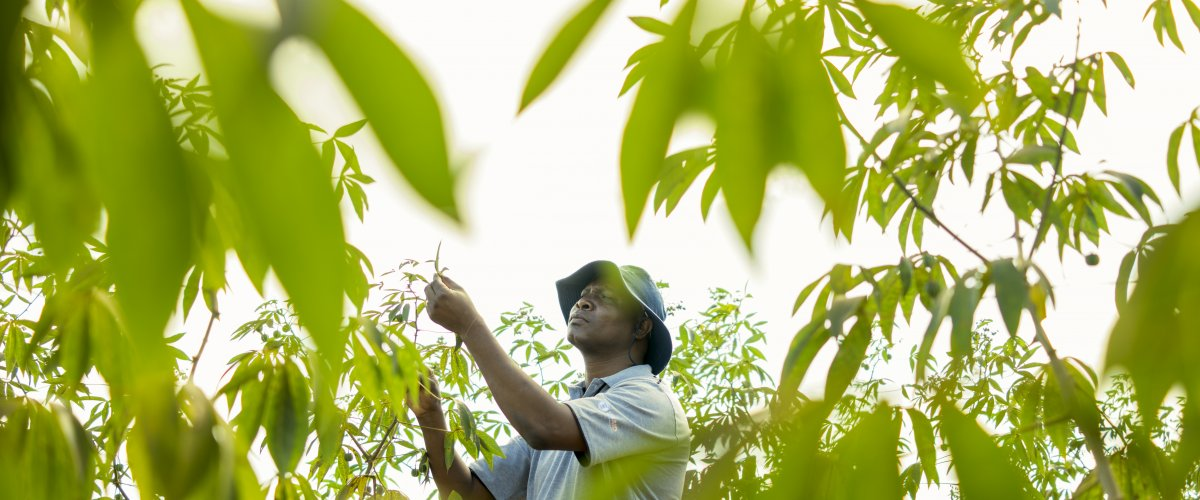 African farmer inspects cassava crop