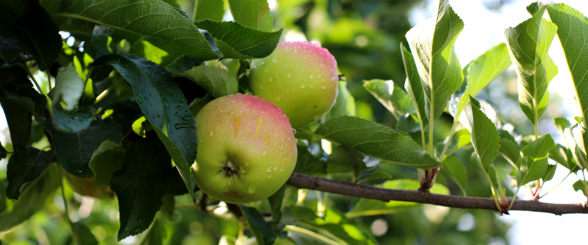 Apple at Cold Spring Orchard