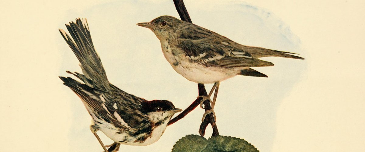 Painting of male and female blackpoll warblers