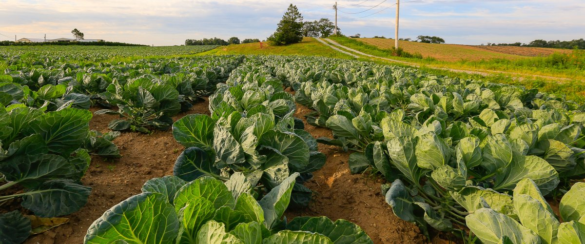 farmland with cabbage growing