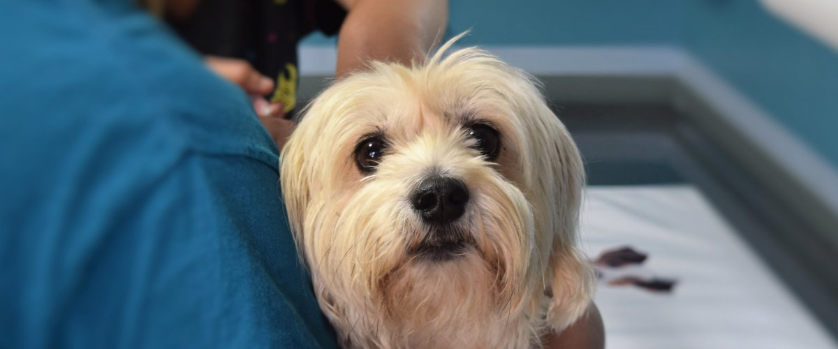 A small white shaggy dog looks at the camera while being held by a veterinary technician