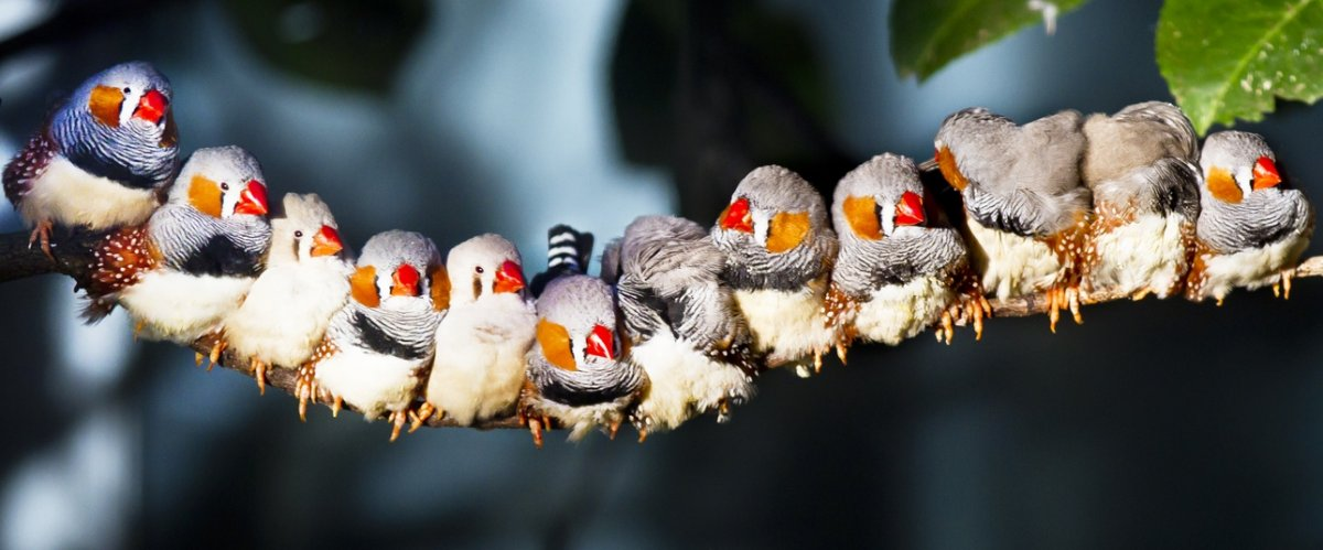A line of finches on a branch
