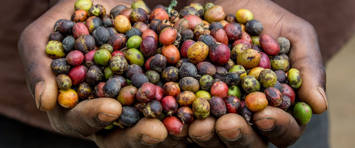 Making Coffee Sustainable to Balance Forest Conservation