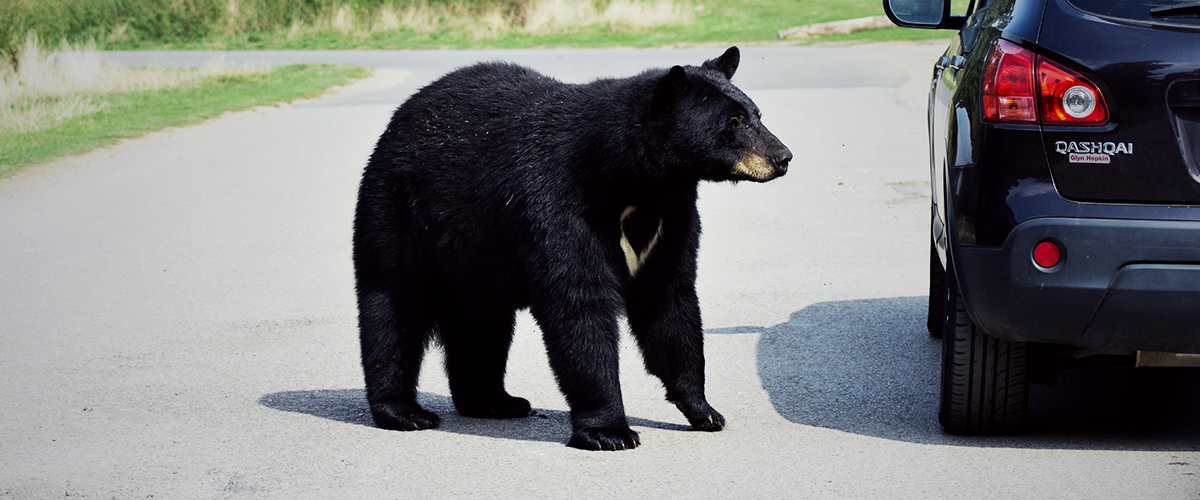 Black bear standing next to a car