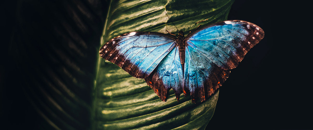 A blue butterfly on a green palm leaf