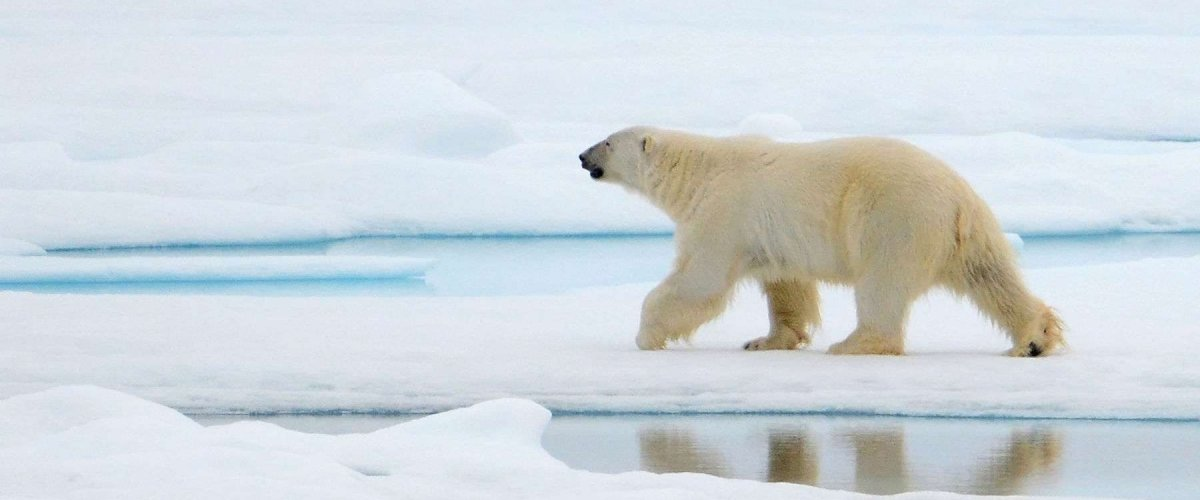 Solo polar bear walking across ice and puddles