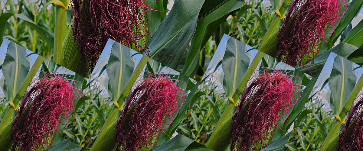 Multiple overlapping copies of a red corn silk tassel on an ear of corn in a field