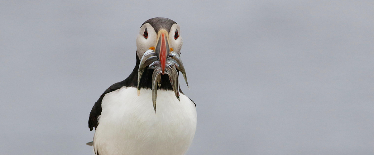Atlantic Puffin with fish in its beak