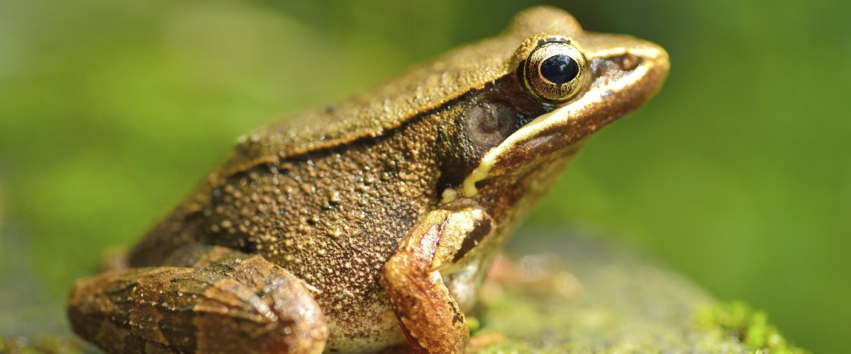 The fungus is affecting frog populations