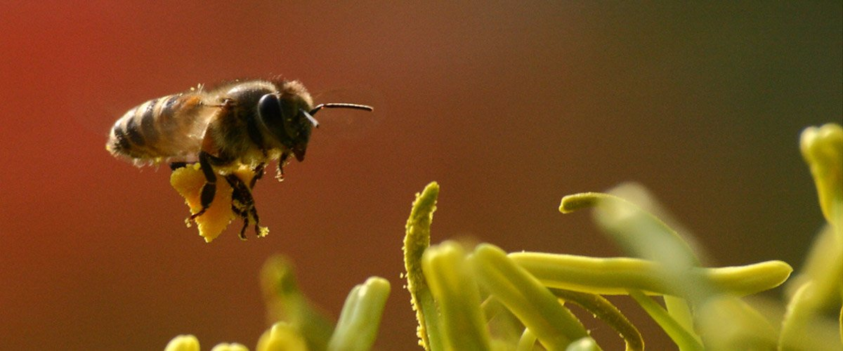 'Lazy Lawn Mowers' Boon for Bees