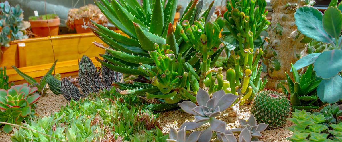 Succulents in Durfee Conservatory