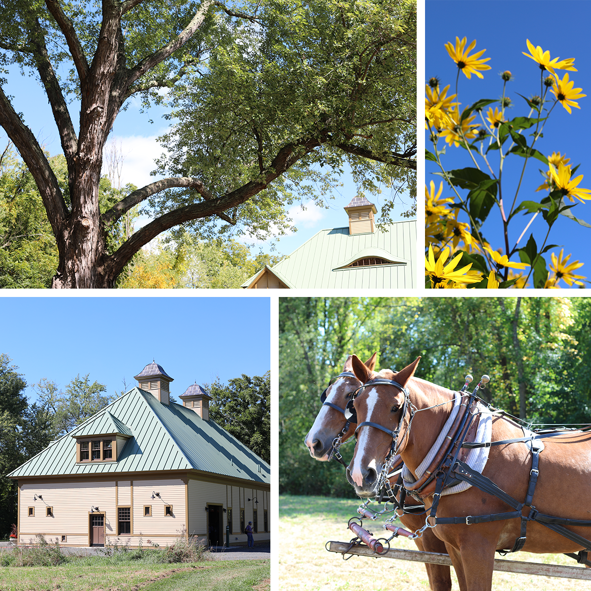 Collage showing redone horse barn, flowers, tree, and team of horses