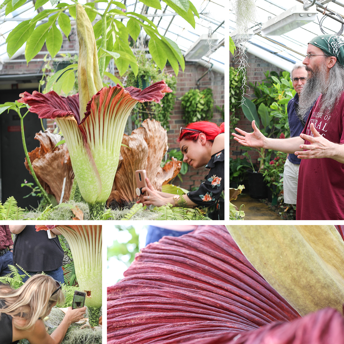Collage of people viewing corpse flower